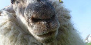Rückblick Schafschur